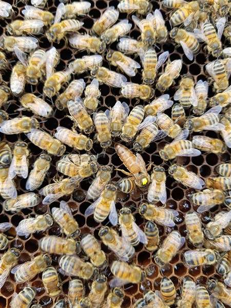 Honey bee nucleus colony